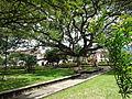 Ahí viene el Samán de la plaza principal de Charalá 08-03-2011.JPG