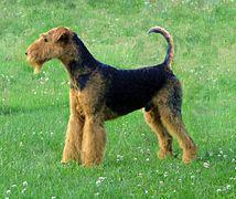 Airedale-terrier-charles14m.jpg