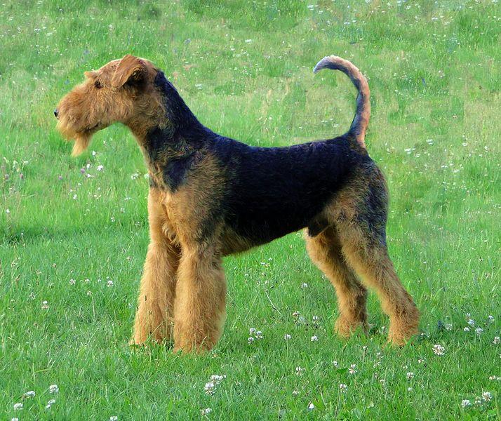 El Airedale terrier tiene una longevidad de 10 a 12 años