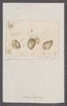 Akera bullata - - Print - Iconographia Zoologica - Special Collections University of Amsterdam - UBAINV0274 091 07 0017.tif