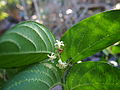 Alangium villosum flowers and foliage III.jpg