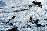 Petit pingouins sur les îles Lofoten.