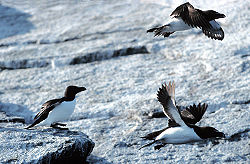 Razorbills are true auks only found in the Atlantic Ocean