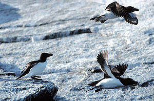 Auk - Razorbills are true auks only found in the Atlantic Ocean