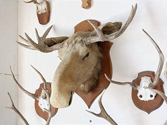 Trophy hunting - Moose head and deer antlers mounted as hunting trophies