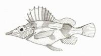 Alertichthys blacki (Alert Pigfish).png