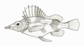alt=Description de l'image Alertichthys_blacki_(Alert_Pigfish).png.