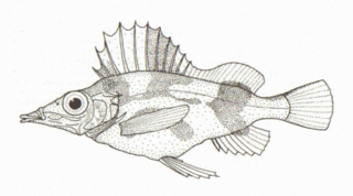 Alert pigfish species of fish