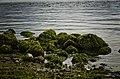 Algae covered rocks at Stanley Park (9558171570).jpg