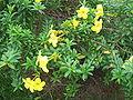Allamanda flowers.JPG