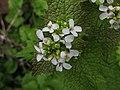 Alliaria petiolata, 2020-04-18, Beechview, 02.jpg
