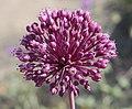 Allium ampeloprasum inflorescence.jpg