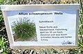 Allium schoenoprasum Welta.jpg