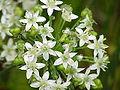 Allium tuberosum0.jpg