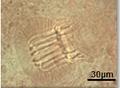 Allogastrocotyle sp (Gastrocotylidae) Genital atrium (Bouguerche, Gey, Tazerouti & Justine).png
