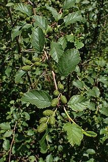 <i>Alnus alnobetula</i> Species of tree