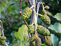 Alnus glutinosa femaleFlowers 2009September25 SierraMadrona.jpg