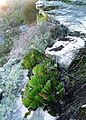 Aloe haemanthifolia of Western Cape mountaintops South Africa 2.JPG