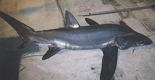 Bigeye thresher species of shark