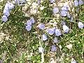 Alpine harebells (Grubigstein) (23706557613).jpg