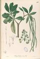 Alstonia scholaris Blanco1.113-original.png