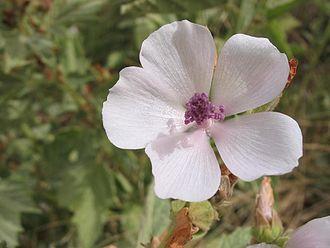 Althaea officinalis - Marshmallow (Althaea officinalis)
