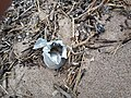Aluminum can shredded by Lake MIchigan.jpg