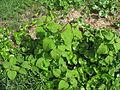 Amaranthus viridis plant1 (11680951174).jpg
