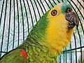 Amazona aestiva -pet in round cage-6a.jpg