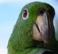 Amazona sp. (14528359794).jpg