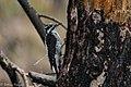 American Three-toed Woodpecker Signal Burn Gila NF NM 2017-10-18 09-01-46 (38363766094).jpg