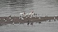 American White Pelicans (Pelecanus erythrorhynchos) - Saskatoon, Saskatchewan 01.jpg
