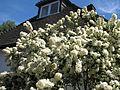 Amomyrtus luma - Flickr - peganum.jpg