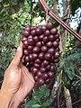 Ampelocissus latifolia 04.JPG