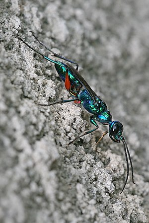 Ampulex compressa, commonly called Emerald Cockroach Wasp. Pictured in Dar es salaam, Tanzania. (Photo credit: Wikipedia)