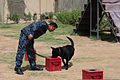 An Iraqi policeman trains his K-9 to detect explosives at a facility in Basra province, Iraq, May 3, 2011 110503-A-YD132-162.jpg