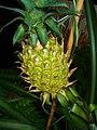 Ananas comosus 006.JPG
