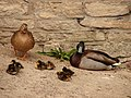 Anas platyrhynchos mallard family at Sleaford, Lincolnshire.jpg