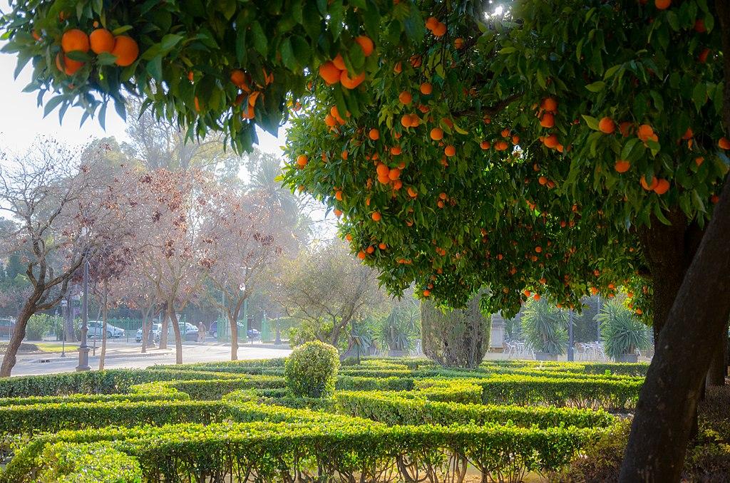 Orangers sur la Plaza de America à Séville - Photo de Maxim Massalitin