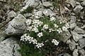 Androsace villosa PID1121-1.jpg