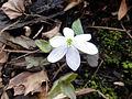 Anemone acutiloba 1226.jpg