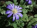 Anemone blanda.jpg