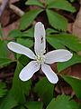 Anemone quinquefolia - Wood Anemone.jpg