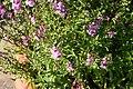 Angelonia angustifolia Pink & Purple 3zz.jpg