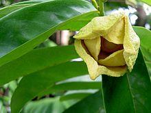 nombre cientifico de guanabana