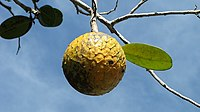 Annona salzmannii27