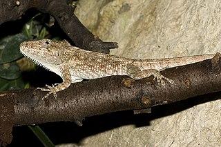 <i>Anolis barbatus</i> Species of lizard