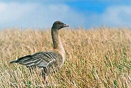 Anser brachyrhynchus (Norway).jpg
