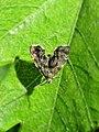 Anthophila fabriciana (Choreutidae) - (imago), Elst (Gld), the Netherlands.jpg