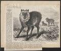 Antilope crispa - 1877 - Print - Iconographia Zoologica - Special Collections University of Amsterdam - UBA01 IZ21400187.tif